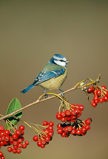 BRD 13 WF0183 01 © Kimball Stock Blue Tit Perched On Branch With Red Berries