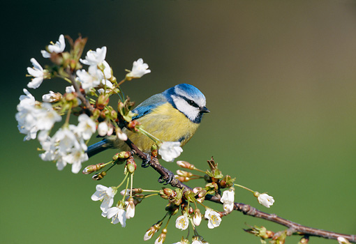 BRD 13 WF0185 01 © Kimball Stock Blue Tit Perched On Blossoming Branch