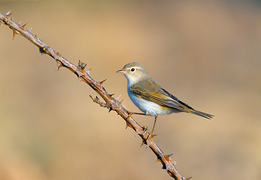 BRD 13 WF0186 01 © Kimball Stock Bonelli's Warbler Perched On Thorny Branch