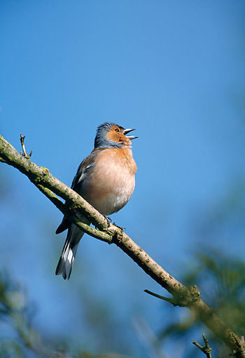 BRD 13 WF0187 01 © Kimball Stock Chaffinch Perched On Branch Singing