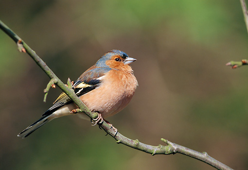 BRD 13 WF0188 01 © Kimball Stock Chaffinch Perched On Branch