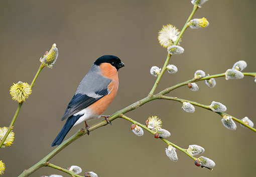 BRD 13 WF0189 01 © Kimball Stock Eurasian Bullfinch Perched On Blossoming Plant