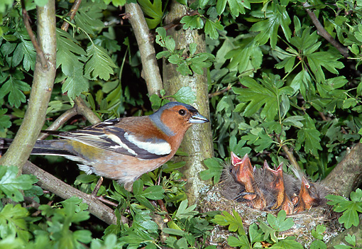 BRD 13 WF0190 01 © Kimball Stock Chaffinch Standing By Nest With Chicks