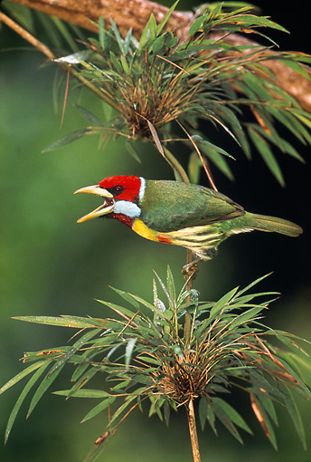 BRD 13 WF0191 01 © Kimball Stock Versicoloured Barbet Chirping From Plant Peru
