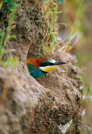 BRD 13 WF0192 01 © Kimball Stock European Bee-Eater Peeking Head Out Of Nest Portugal