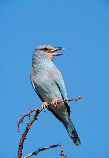 BRD 13 WF0193 01 © Kimball Stock European Roller Perched On Twig South Africa