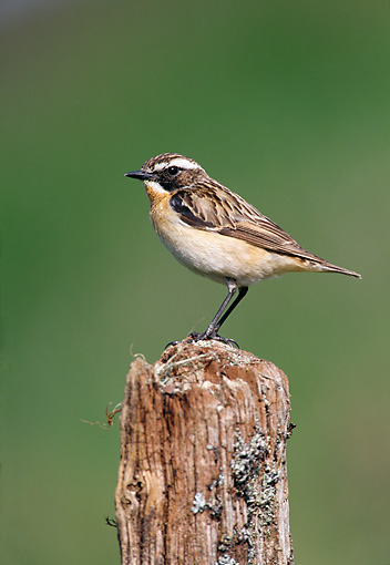 BRD 13 WF0194 01 © Kimball Stock Whinchat Standing On Wooden Post