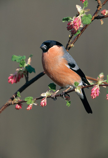 BRD 13 WF0197 01 © Kimball Stock Eurasian Bullfinch Perched On Blossoming Branch