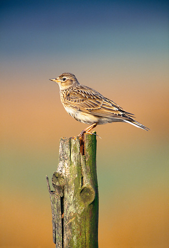 BRD 13 WF0200 01 © Kimball Stock Portrait Of Skylark Perched On Tree Stump