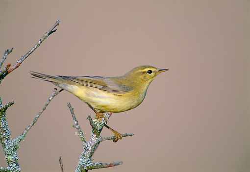 BRD 13 WF0202 01 © Kimball Stock Portrait Of Willow Warbler Perched On Twig Spain