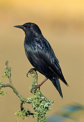 BRD 13 WF0203 01 © Kimball Stock Portrait Of Spotless Starling Perched On Twig Avila, Spain
