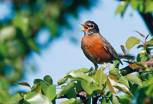 BRD 13 GR0003 01 © Kimball Stock American Robin Perching In Tree Singing