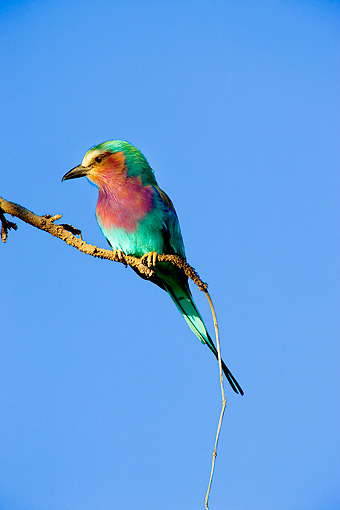 BRD 13 JZ0002 01 © Kimball Stock Lilac-Breasted Roller Sitting On Branch Blue Sky Kenya