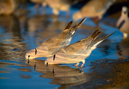 BRD 13 KH0001 01 © Kimball Stock Two Eurasian Collared Doves Standing In Pond Drinking Water