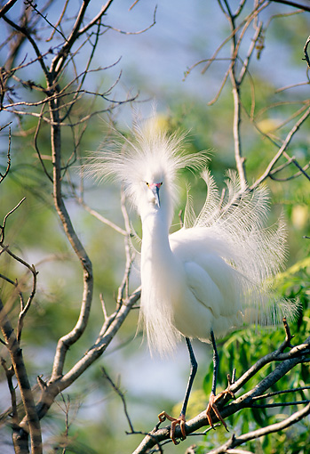 BRD 13 LS0001 01 © Kimball Stock Snowy Egret Standing On Tree Branch