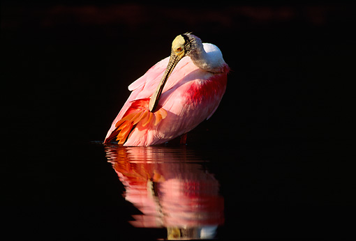 BRD 13 LS0002 01 © Kimball Stock Roseate Spoonbill Wading In Shallow Water