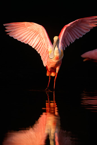 BRD 13 LS0003 01 © Kimball Stock Roseate Spoonbill Spreading Wings Wading In Shallow Water