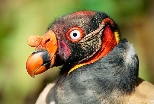 BRD 13 LS0004 01 © Kimball Stock Profile Portrail Head Shot Of King Vulture
