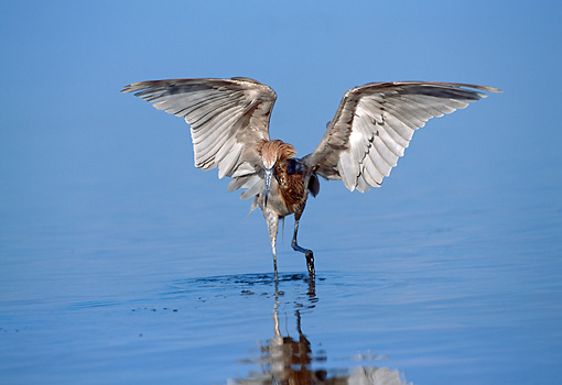 BRD 13 LS0005 01 © Kimball Stock Reddish Egret Hunting Minnows In Shallow Water