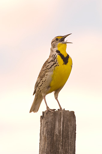 BRD 13 NE0001 01 © Kimball Stock Western Meadowlark Perching On Fence Post Singing