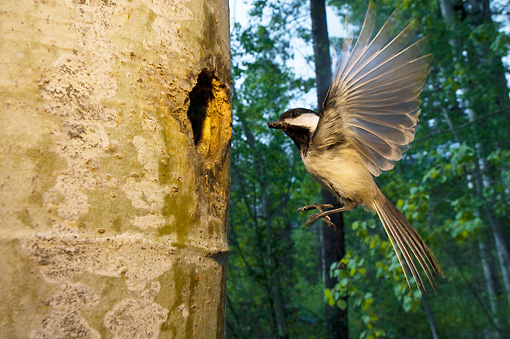 BRD 13 NE0003 01 © Kimball Stock Black-Capped Chickadee Adult Flying To Nest In Hollow Tree