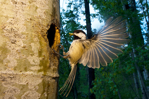 BRD 13 NE0004 01 © Kimball Stock Black-Capped Chickadee Adult Flying To Nest In Hollow Tree