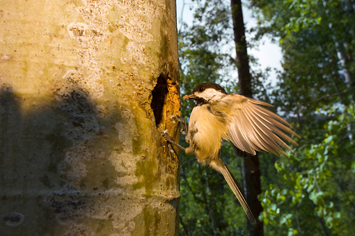BRD 13 NE0005 01 © Kimball Stock Black-Capped Chickadee Adult Landing At Nest In Hollow Tree