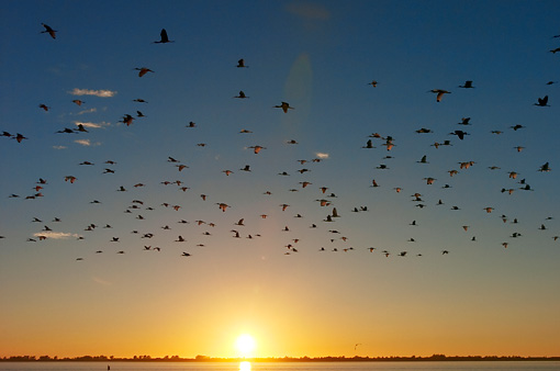 BRD 13 NE0007 01 © Kimball Stock Flock Of American White Ibis Flying Over Water At Sunset