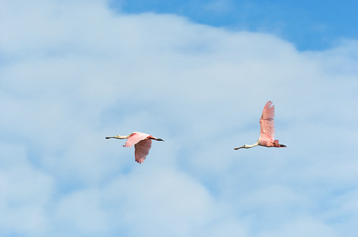 BRD 13 NE0010 01 © Kimball Stock Two Roseate Spoonbills Flying