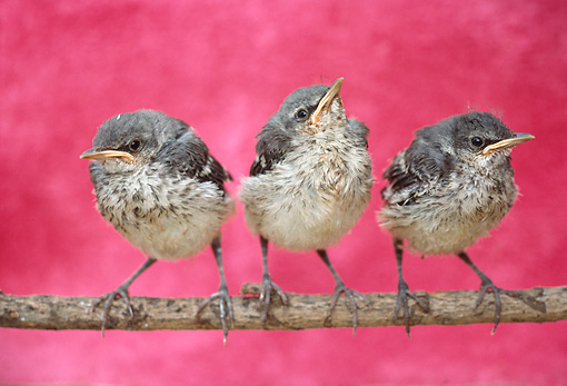 BRD 13 RC0001 01 © Kimball Stock Three Bird Chicks Perching On Branch