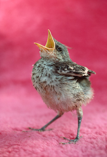 BRD 13 RC0002 01 © Kimball Stock Bird Chick Standing On Pink Cloth Beak Open