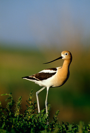 BRD 13 RF0217 01 © Kimball Stock American Avocet Walking On Foliage