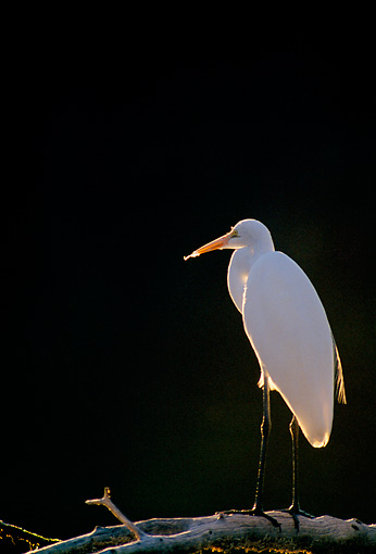 BRD 13 RF0218 01 © Kimball Stock Great Egret Standing On Tree Branch