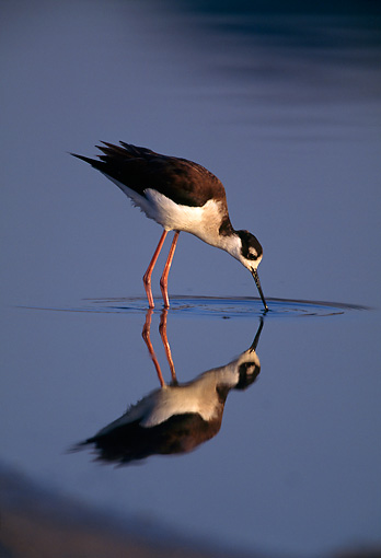 BRD 13 RF0219 01 © Kimball Stock Black-Necked Stilt Feeding On Marsh