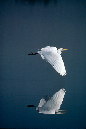 BRD 13 RK0017 03 © Kimball Stock Great Egret Flying Over Water With Reflection