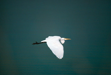 BRD 13 RK0018 01 © Kimball Stock Great Egret Flying Over Water