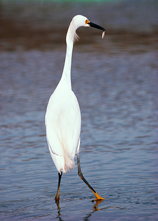 BRD 13 RK0044 01 © Kimball Stock Snowy Egret Standing With Fish In Mouth