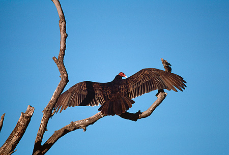 BRD 13 RK0077 05 © Kimball Stock Vulture Sitting On Tree Branch
