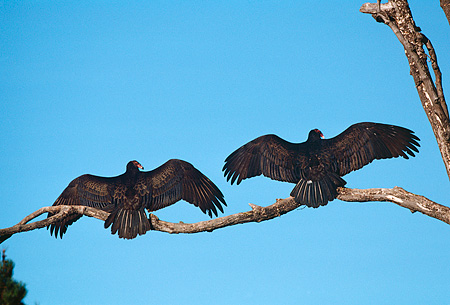 BRD 13 RK0078 01 © Kimball Stock Two Vultures Sitting On Branch