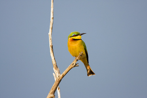 BRD 13 RW0001 01 © Kimball Stock Little Bee-eater Perching On Twig Kenya