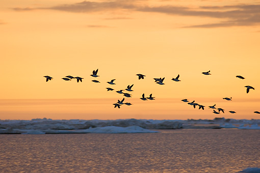 BRD 13 SK0004 01 © Kimball Stock Think-Billed Murres Flying Along Coast Alaska