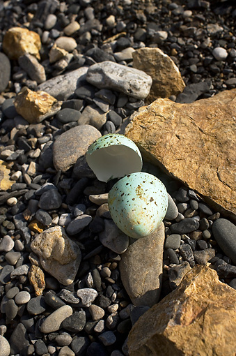 BRD 13 SK0005 01 © Kimball Stock Think-Billed Murre Eggshell On Rocky Beach Alaska