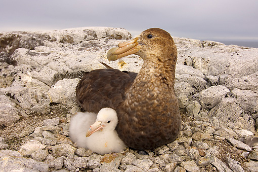 BRD 13 SK0007 01 © Kimball Stock Antarctic Giant Petrel Nesting With Chick On Rocks Western Antarctic Peninsula