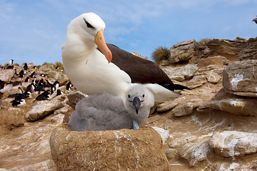 BRD 13 SK0008 01 © Kimball Stock Black-Browed Albatross Nesting With Chick On Rocks Falkland Islands
