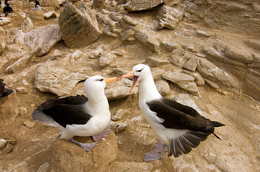 BRD 13 SK0009 01 © Kimball Stock Two Black-Browed Albatrosses Sitting On Rocks Falkland Islands