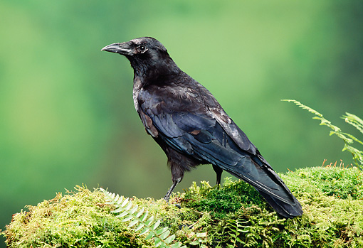 BRD 13 TK0001 01 © Kimball Stock American Crow Standing On Moss By Ferns