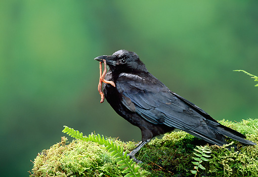 BRD 13 TK0002 01 © Kimball Stock American Crow Eating Earthworm On Moss By Ferns