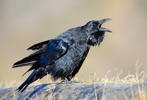 BRD 13 TK0003 01 © Kimball Stock Common Raven Calling On Rock