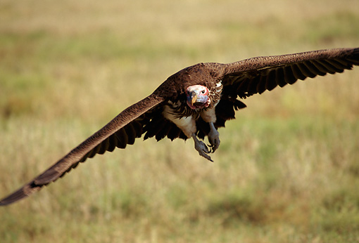 BRD 13 TK0004 01 © Kimball Stock Head-On View Of Lappet-Faced Vulture Flying Low Over Savanna Tanzania