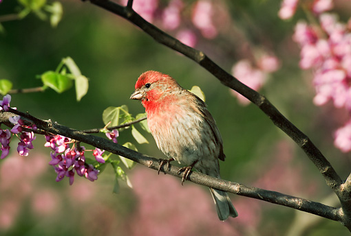 BRD 13 TK0007 01 © Kimball Stock Male House Finch Perching On Tree Branch